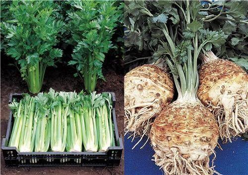 les vertus du celeri